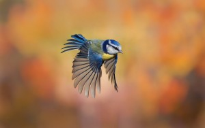 blue bird flying hd wallpaper